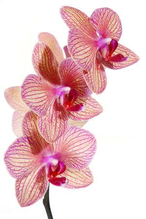 白い背景に分離されたストライプの蘭の花 写真素材