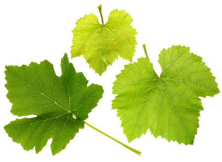 白い背景上に分離されて緑のブドウの葉