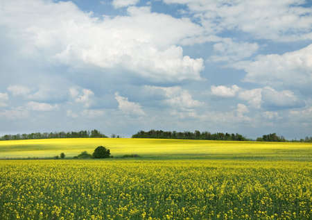 Landscape with blue sky and yellow blossom rape