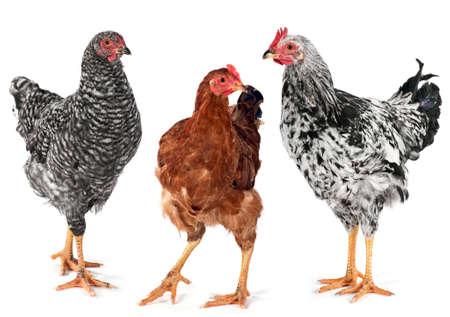 若鶏の雌鶏および鶏の白のスタジオで撮影