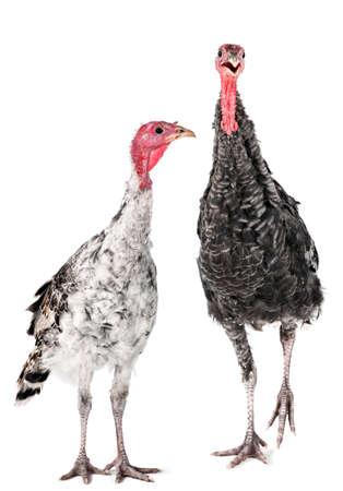 Twee jonge Turkije boerderij vogel geschoten in studio Stockfoto