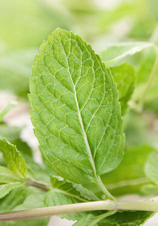 Spearmint verse groene kruid blad close-up weergave