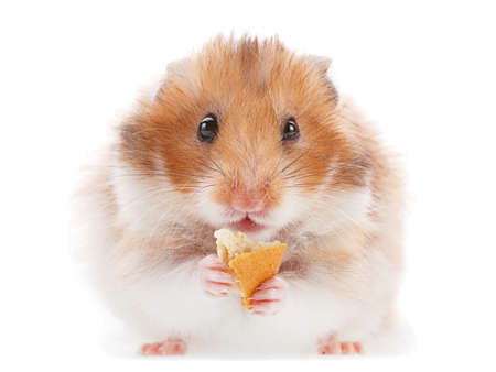 Hamster pet eating cookie on white Stock Photo