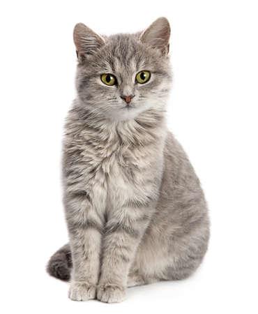 Gray cat sitting isolated on white background