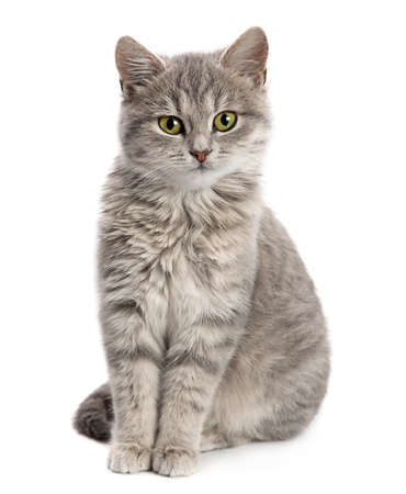 Gray cat sitting isolated on white background