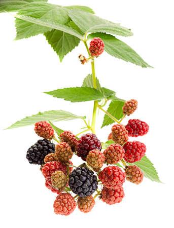 Blackberry fruit closeup isolated on white Stock Photo