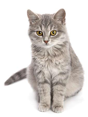 白い背景に分離された灰色の猫座り 写真素材
