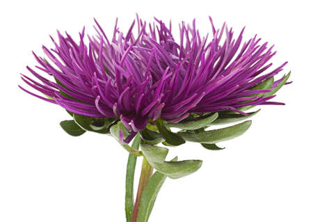 Aster flower head closeup isolated on white background
