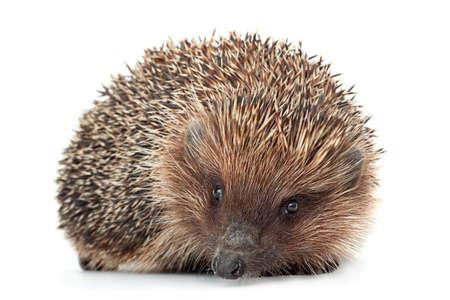 Hedgehog aniamal closeup isolated on white background