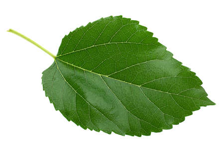 Mulberry leaf closeup isolated on light background Stock fotó