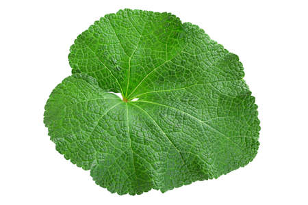 Mallow flower leaf isolatted on white background