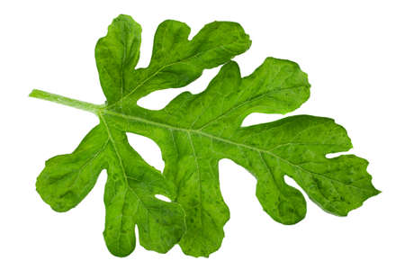 Watermelon leaf closeup isolated on white backgound
