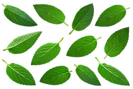 Mint herb leaf set closeup isolated on white Stockfoto