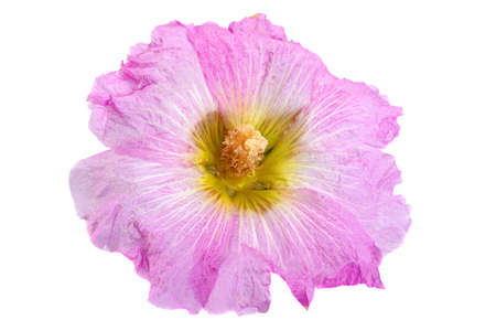 Mallow flower head closeup isolated on white