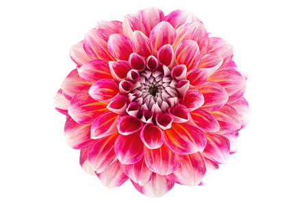 Aster flower head closeup isolated on white
