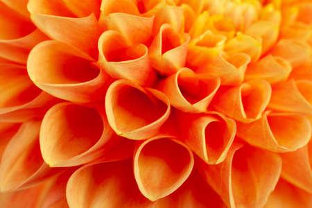 Aster flower head closeup detail horizontal