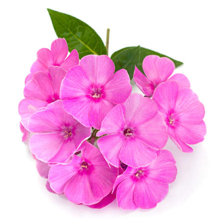 Phlox flower closeup isolated on white
