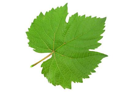 Grape fresh leaf closeup isolated on white