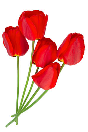 Red tulip closeup isolated on white Stockfoto
