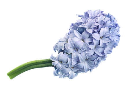 Hyacinth spring flower closeup isolated on white