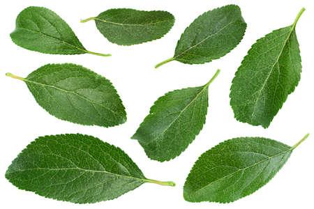 Blue plum fruit leaf isolated on white Imagens
