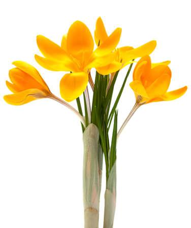 Yellow crocus spring flower closeup isolated on white Reklamní fotografie
