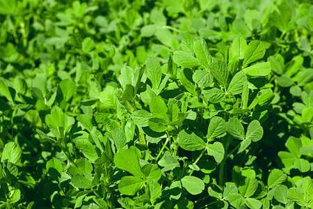 Lucerne closeup agricultural fresh green leaf herb
