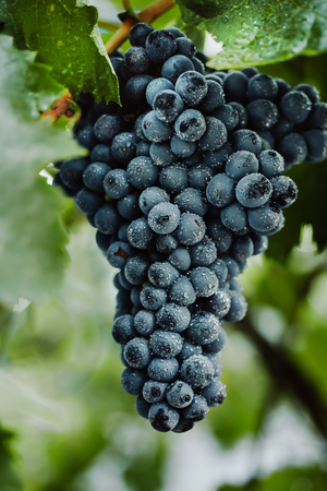 black textured background: Blue grapes for winemaking. Grapes on a branch. Grapes in the vineyard. Vineyards italy.
