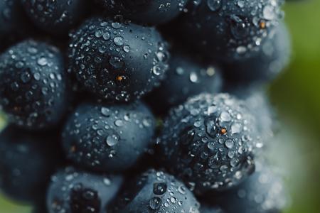 검은 배경에 고립 된 낮은 조명에서 물 방울과 포도의 어두운 무리의 열매를 닫습니다 스톡 콘텐츠