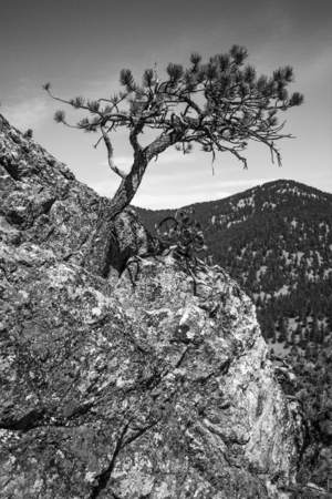 ledge: Lone Tree on Ledge
