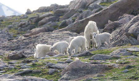 mount evans: Mountain goats on Mount Evans in Colorado.