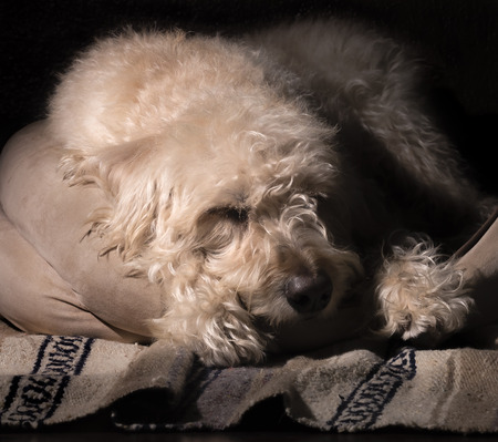snoozing: Teig snoozing on his bed in the Traildog Artisans Studio Stock Photo