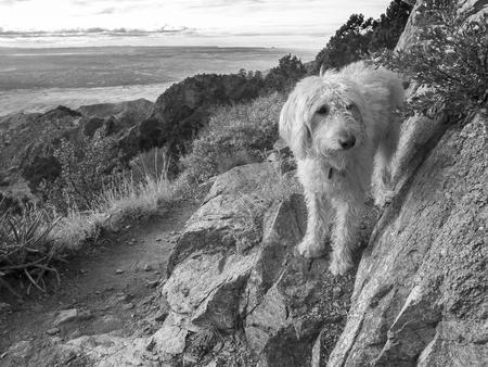 The labradoodle doing the La Luz trail up Sandia Mountain east of Albuquerque, New Mexico.