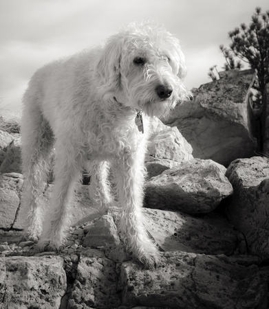 Teig, the traildog labradoodle, found a perch on granite racos just off of the trail at Dinasaur Ridge in Morrison, Colorado Stock Photo