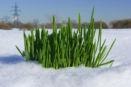 Grass creciendo a trav�s de la nieve sobre el trasfondo de la ciudad