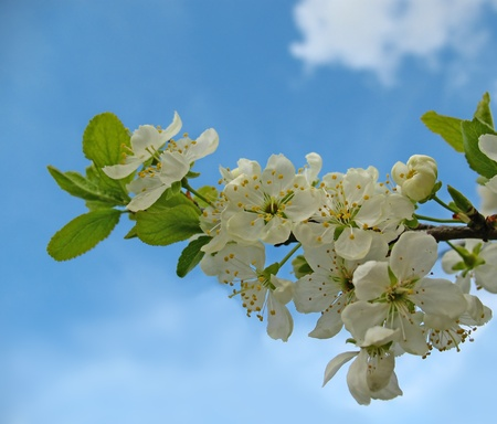 Flores Manzano contra el cielo azul de