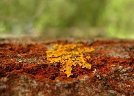 Liquen dorado en el tronco de �rbol rojo