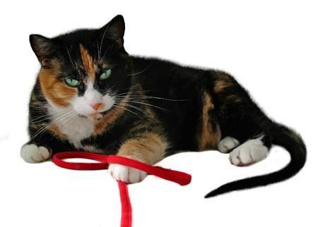 Gato jugando con cadena rojo aislado en blanco