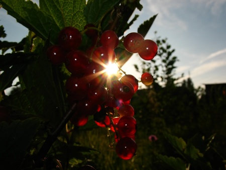 Red and ripe currant enlightened with sun Stock Photo