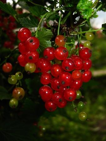 Grosellas rojas y madura ilustrado con sol Foto de archivo