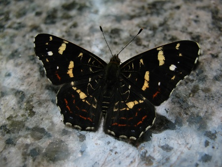 Black butterfly is sitting on granite Stock Photo