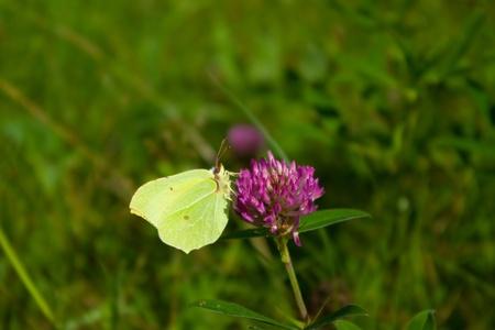 gonepteryx: Gonepteryx butterfly is sitting on pink flower Stock Photo
