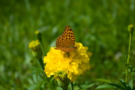 Fritillary butterfly sitting on marigold flower
