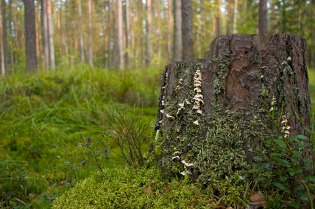 stump with moss and lichen in forest Stock Photo