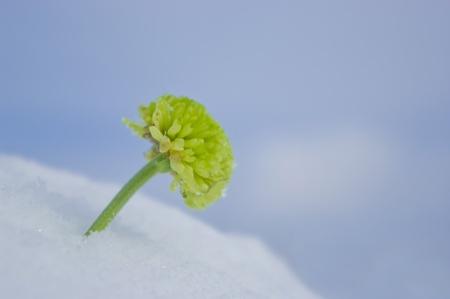 Verde crisantemo crecer a trav�s de la nieve