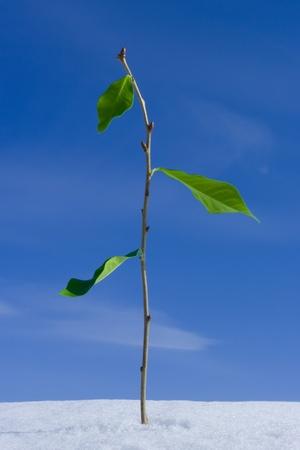 Twig con hojas de crecer a trav�s de la nieve