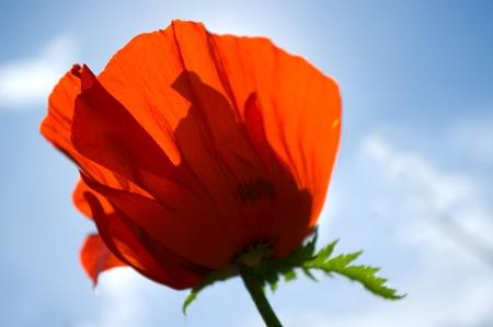 flor de amapola en un jard�n iluminado con sol Foto de archivo