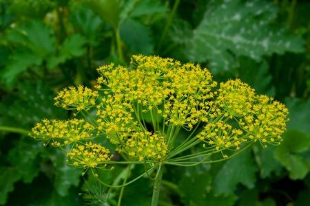 closeup eneldo de color amarillo verdoso en un jard�n Foto de archivo