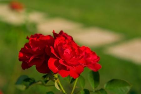 illuminati: Rose rosse in giardino illuminato con sun Archivio Fotografico
