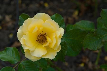 Rosa amarilla en jard�n iluminado con sol